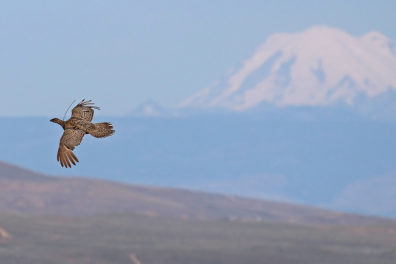 A sage-grouse flying over a field.