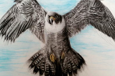 Drawing of a peregrine falcon.
