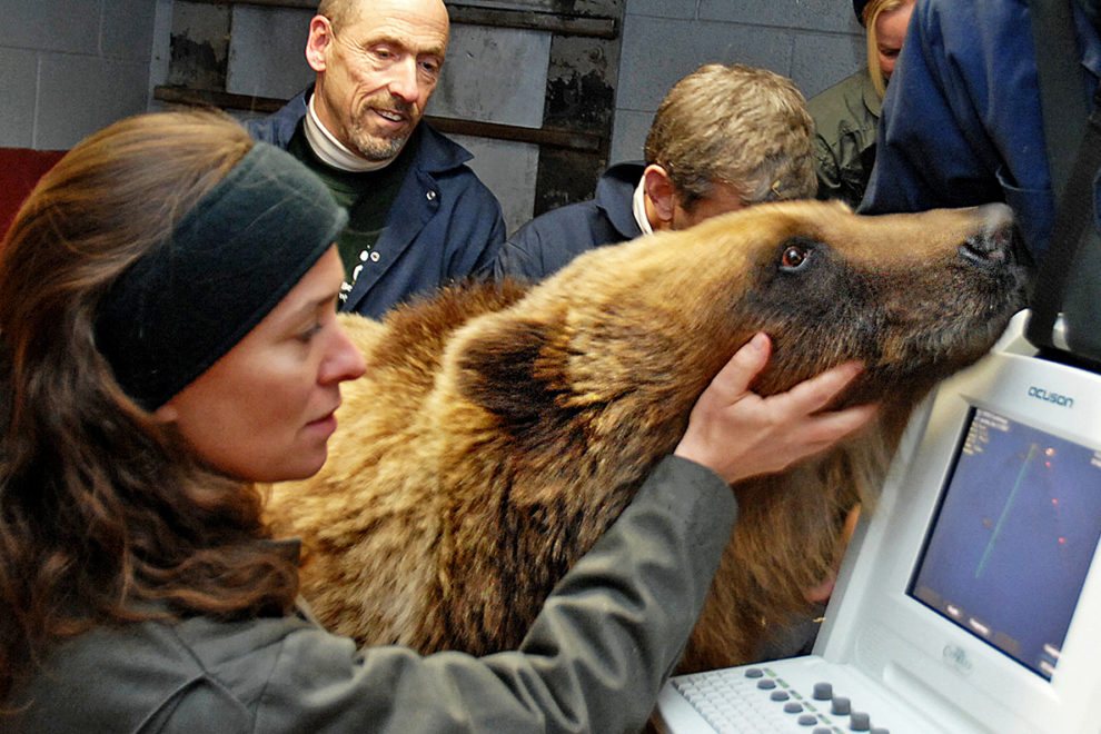 Several people gathered around a bear to perform a cardiac ultrasound.