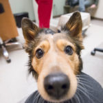 Closeup of a dog's face in an examination room.
