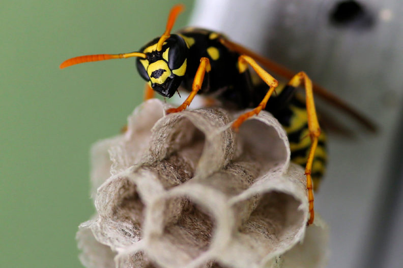 A paper wasp perched on its nest.