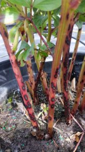 A peony plant shows discoloration from measles caused by Graphiopsis chlorocephala