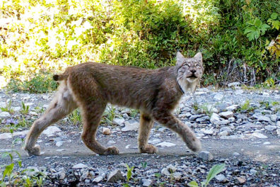 A lynx walking down a rocky path.
