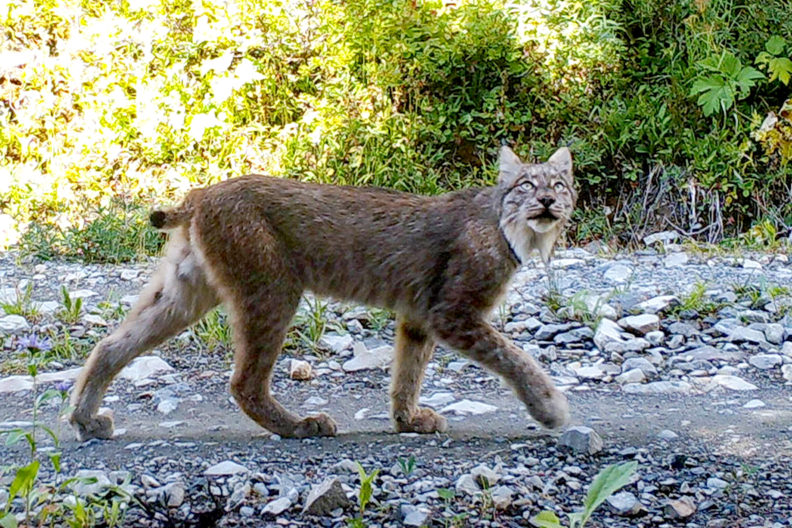 A lynx walking down a rocky path.