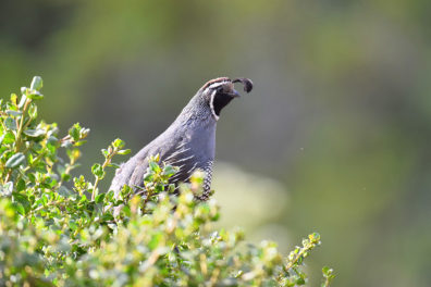quail peaking out of a bush
