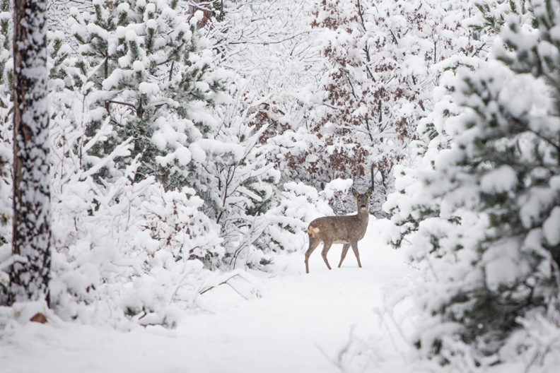 A deer in a forest in the winter
