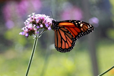 Monarch butterfly perched on a flower.
