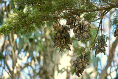 Groups of migratory monarch butterflies hanging from a tree