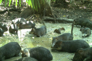 Scientists document collapse of the white-lipped peccary