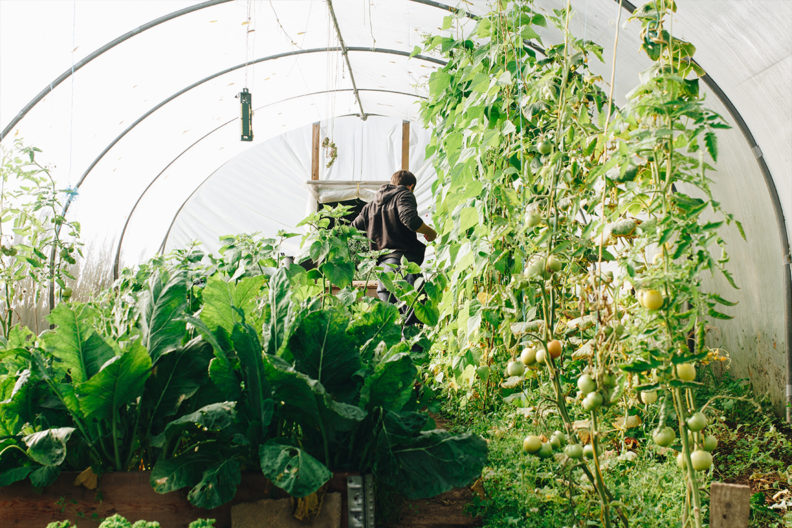 A farmer works in a greenhouse.
