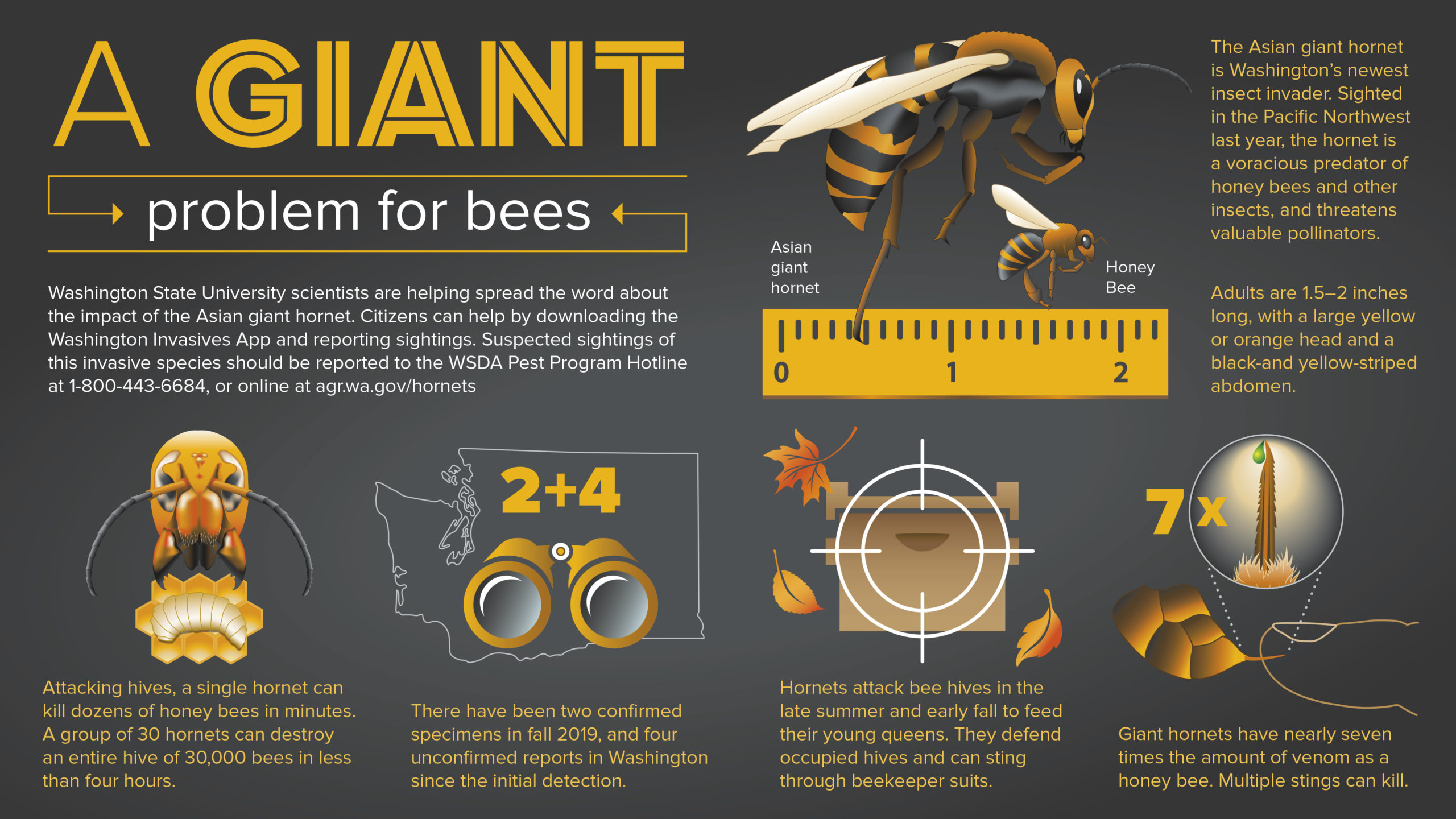 Infographic describing the impact of Asian giant hornets.