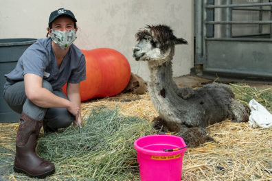 """Dr. Catherine Krus, cares for """"Rose,"""" a 3-year-old alpaca suffering with tick paralysis."""