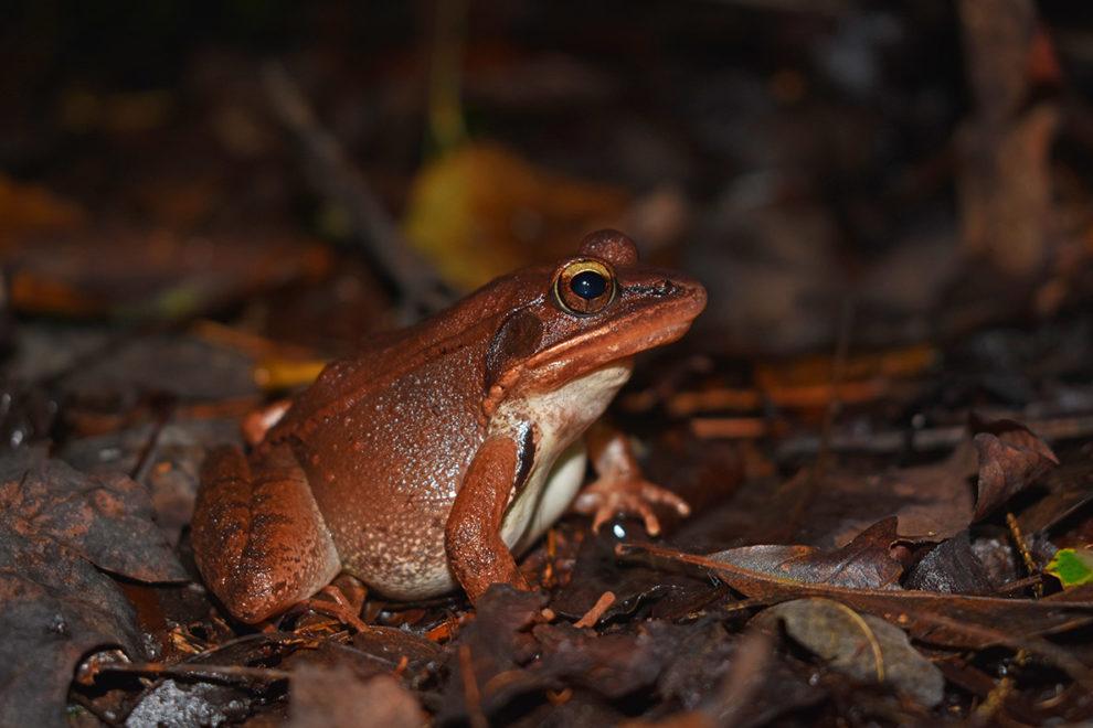 Wood frog sitting on leaves.