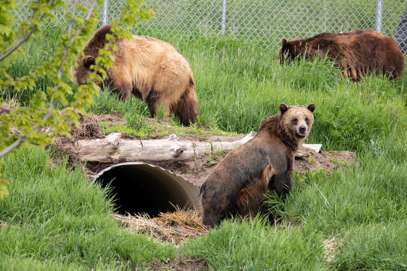 Bears explore their new cave at the WSU Bear Center.