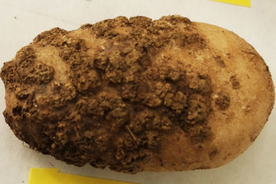 A potato infected by powdery scab.