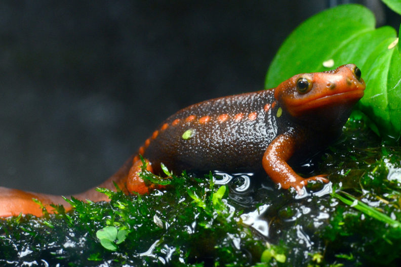 An orange salamander perched on a leaf