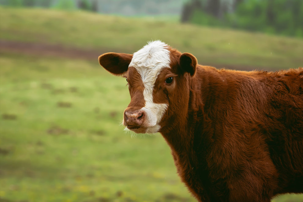 A cow standing in a pasture.