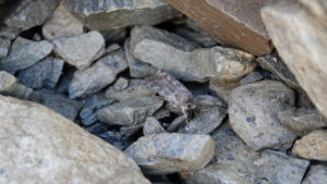 An army cutworm moth rests in the Glacier Park talus