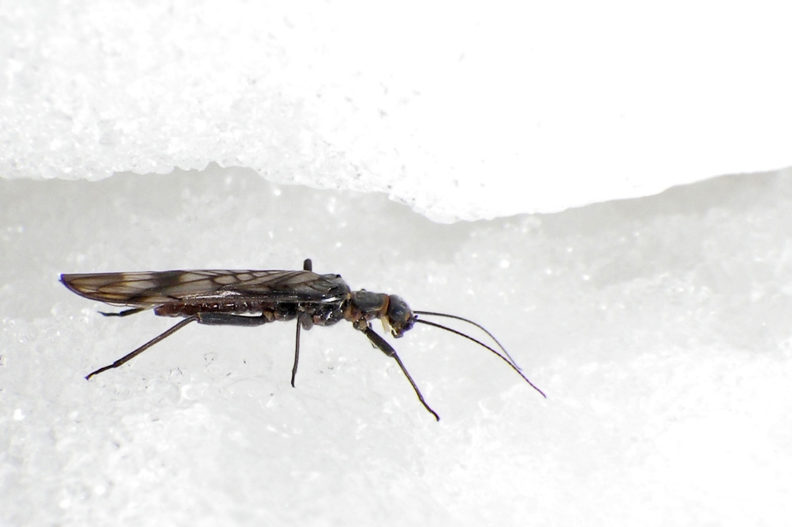 Closeup of a small mountain fly on the snow.