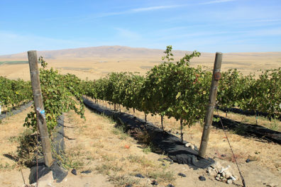 Vineyards in Yakima