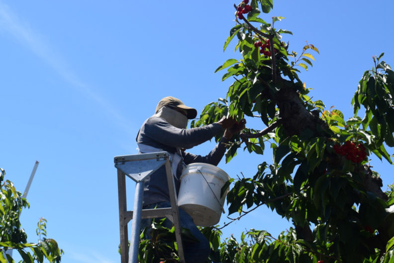 A worker picking cherries.