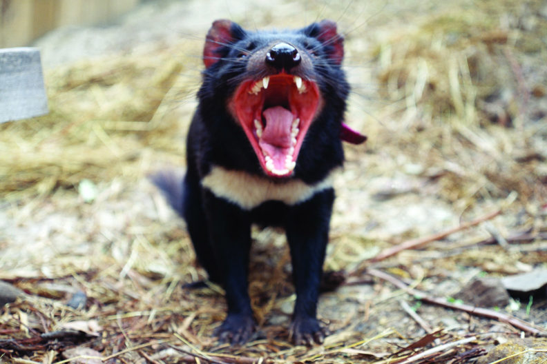 Tasmanian Devil with open mouth