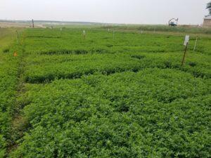 Alfalfa test plots