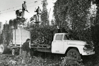 Men harvesting hops.