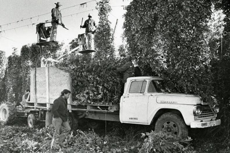 Men harvesting hops.