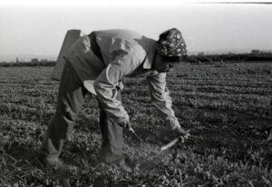 A woman harvesting asparagus