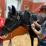 A veterinary student providing medication to a horse through an IV.