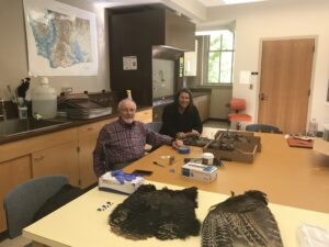 Bill Lipe and Shannon Tushingham collect feathers from a wild turkey pelt in Tushingham's lab at WSU.