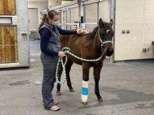 Fourth-year veterinary student Sarah Calvin brushes Cinco