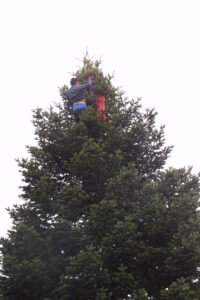 A Turkish climber collects cones from the top of a large fir tree