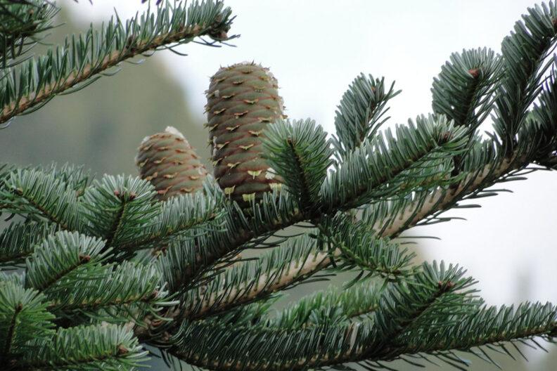 A Turkish fir tree