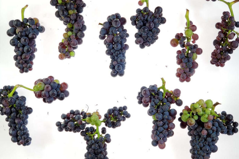 Grapes with red blotch virus