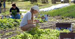 People tending crops