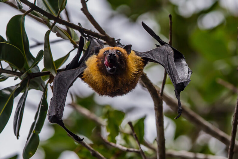 Closeup of a bat in a tree.