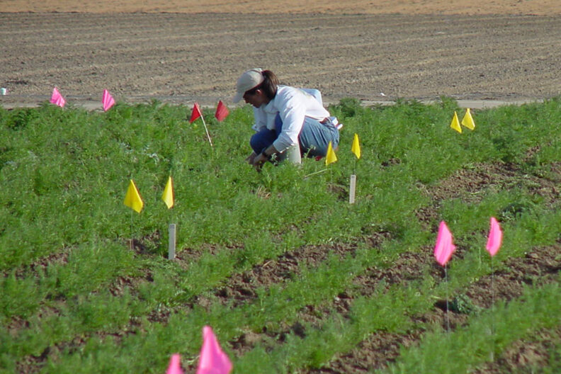 A researcher transplants carrots in a seed crop experimental plot.