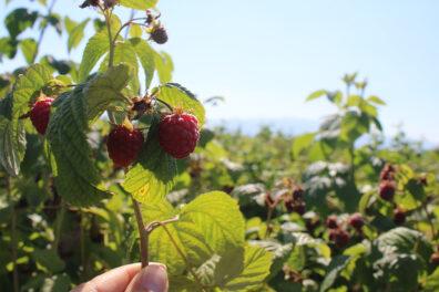 A raspberry field.