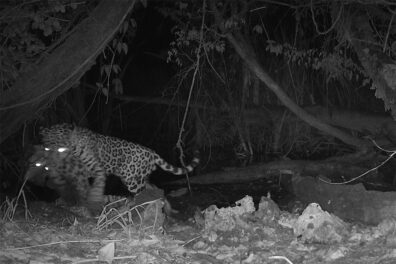 A black and white night image showing a jaguar carrying an ocelot in its jaws.
