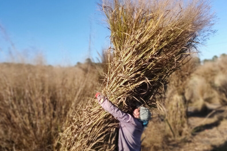 A field technician wrestles with a large switchgrass plant