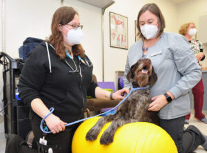 Two vets assist a dog with physical therapy