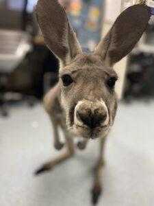 Kangaroos need care, too