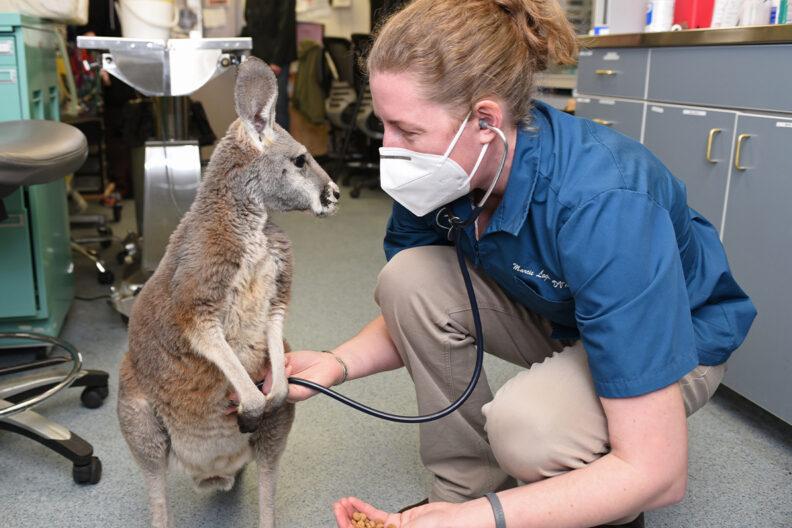 A veterinarian examining a kangaroo.