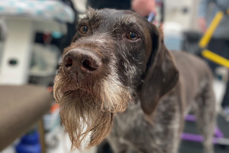 Closeup of Mater, a German wire-haired pointer.
