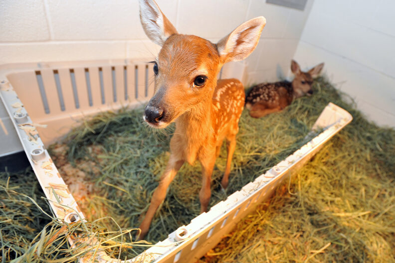 Closeup of two orphaned fawns.