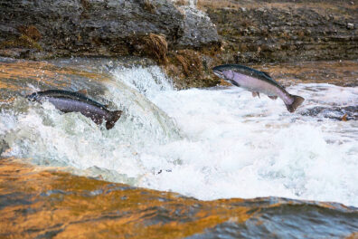 Two salmon jumping upstream.