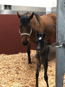 Margie, a newborn foal, poses with a surrogate mare.
