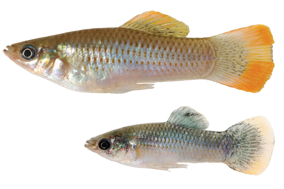 Two sliver fish on a white background, top fish is larger with orange highlights on its fins, bottom fish is smaller with some blue tones
